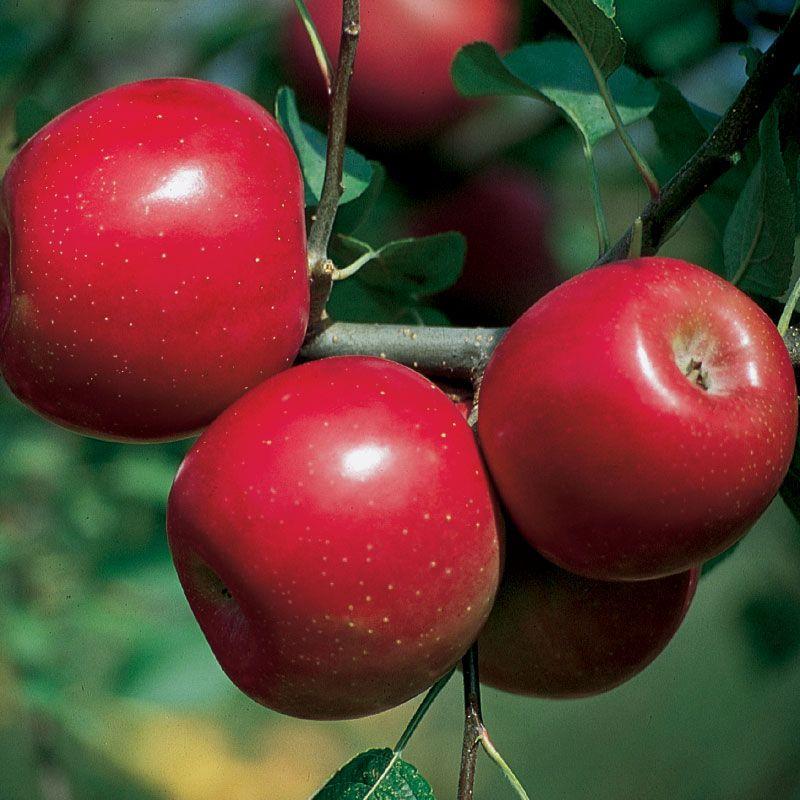 GoldRush Apple - Apple Trees - Stark Bro's