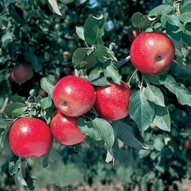 Starkspur® Winesap Apple