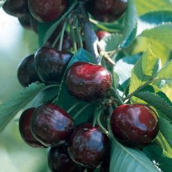 Photo of Royalton™ Sweet Cherry