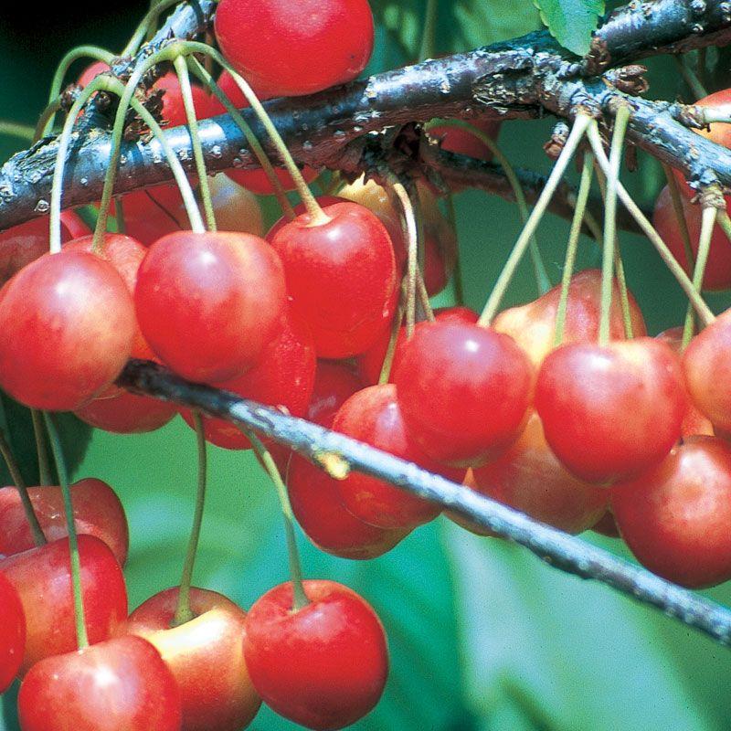 Whitegold® Sweet Cherry - Cherry Trees - Stark Bro's