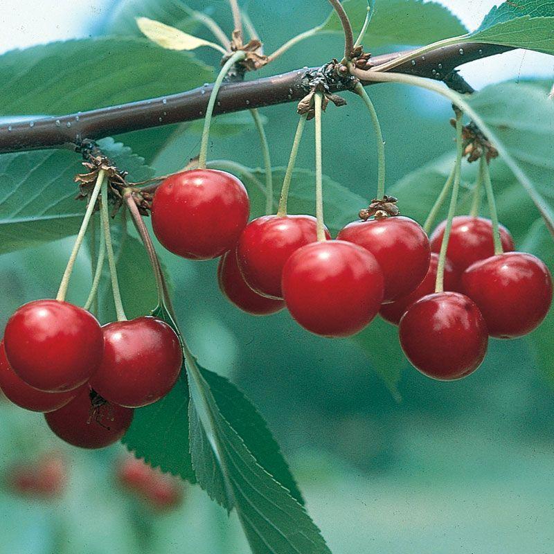 North Star Pie Cherry Cherry Trees Stark Bros