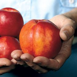 Royal Giant Nectarine