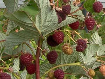 Crimson Night Raspberry