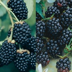 Southern Blackberry Plant Collection