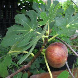 Citrus Trees Fig