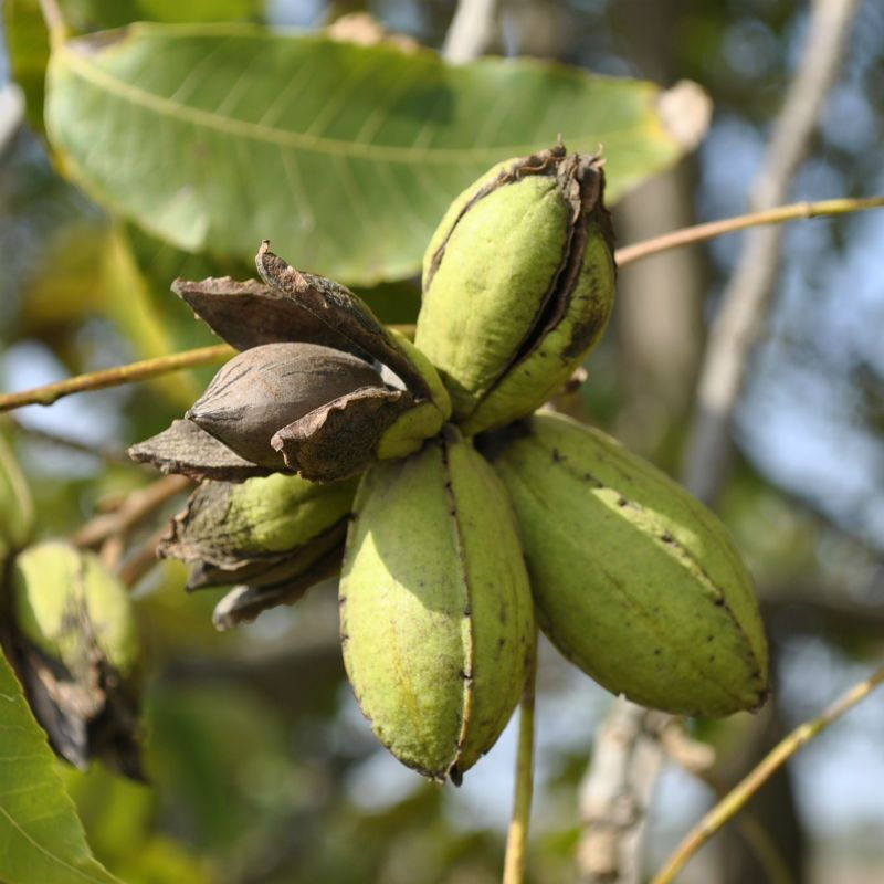 Pecan Trees From Stark Bro's - Pecan Trees For Sale