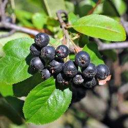 Photo of Nero Aronia Berry