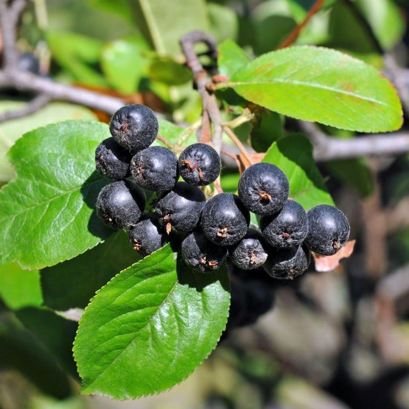 similiar nero aronia berries keywords. Black Bedroom Furniture Sets. Home Design Ideas