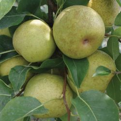 Photo of New Century Asian Pear