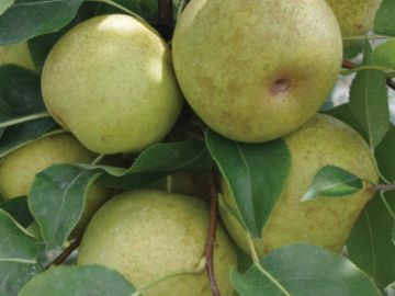 New Century Asian Pear