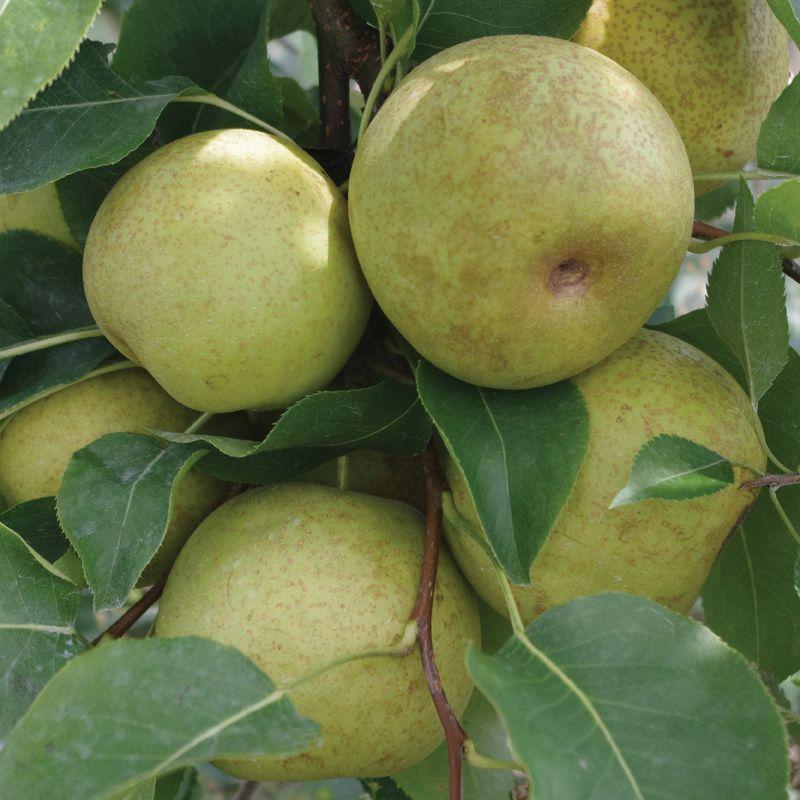 Hot stuff! asian pears tree