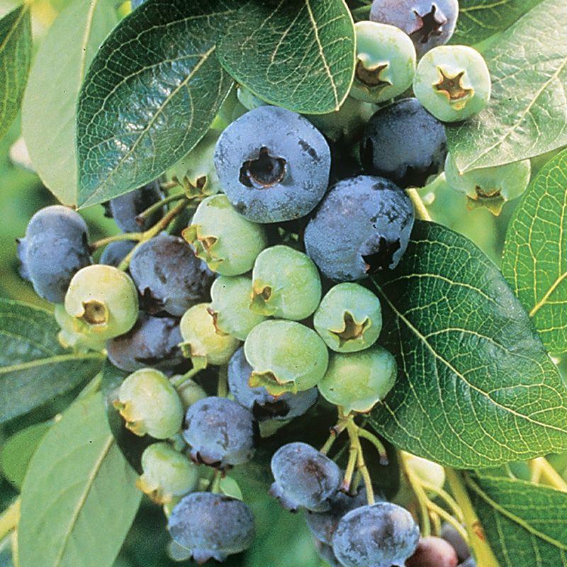 Blueberry Fruit Chandler Bluebe...