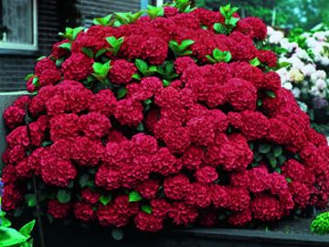Photo of Glowing Embers Hydrangea