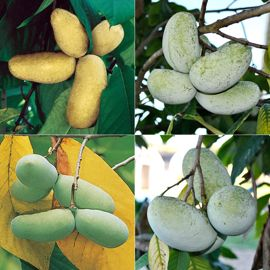 Perfect Pawpaw Tree Collection