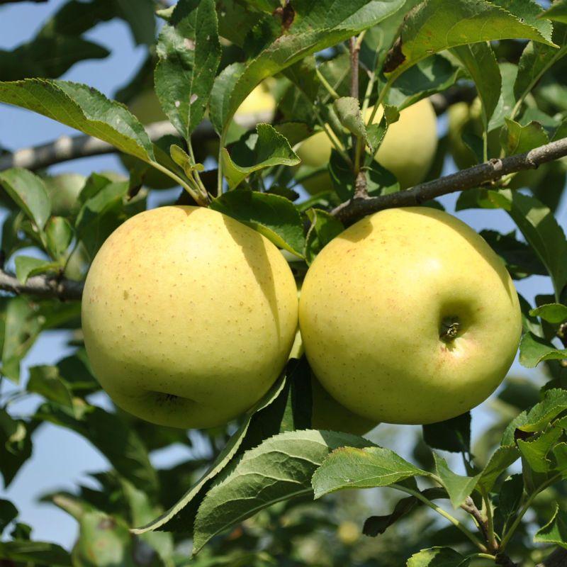 golden delicious apple pie recipe
