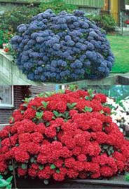 Brilliant Hydrangea Assortment