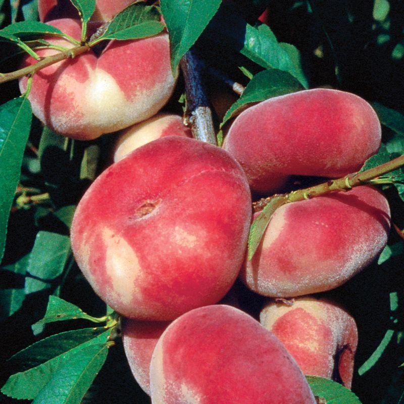 Stark® Saturn Peach