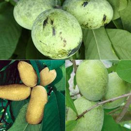 Triple Play Pawpaw Tree Collection