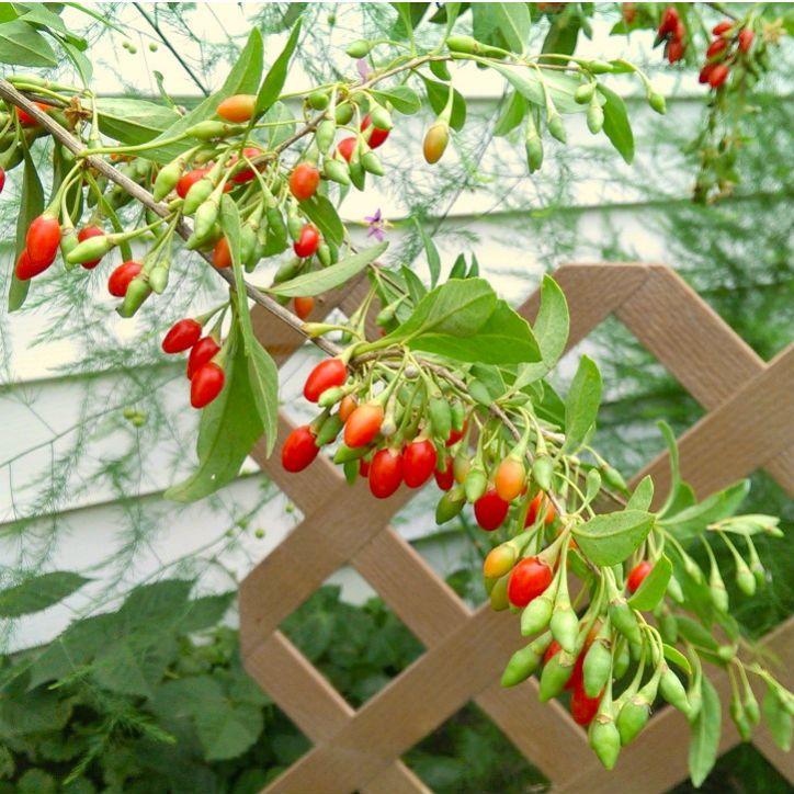 Vermilion Sunset Goji Goji Berry Plants Stark Bro S