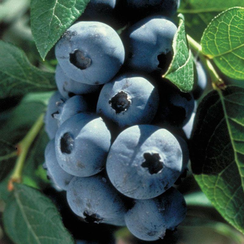 Earliblue Blueberry Blueberry Plants Stark Bro S