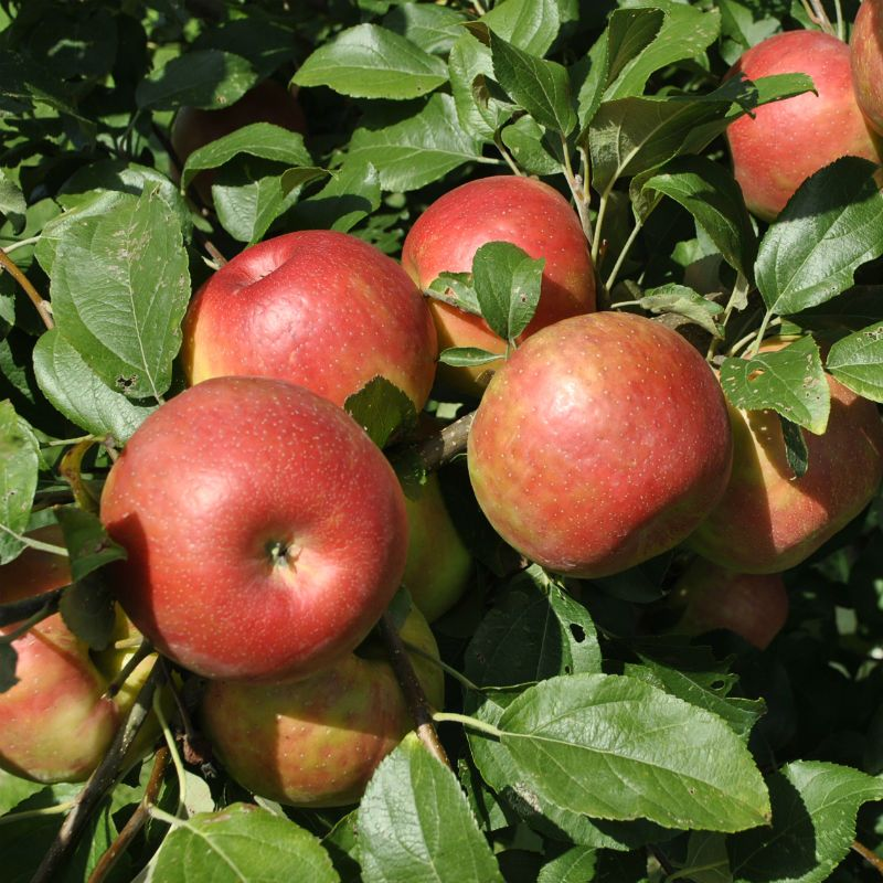 how to cut an apple tree