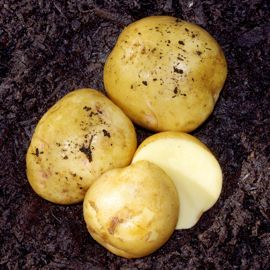 Photo of Yukon Gold Seed Potato