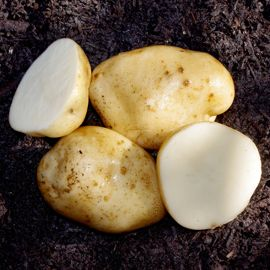 Photo of Heirloom Seed Potato Collection