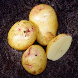 Yukon Gem Seed Potato