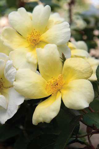 Sunny knock out rose roses stark bros mightylinksfo