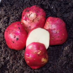 Photo of Dark Red Norland Seed Potato