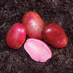Photo of Adirondack Red Seed Potato