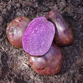 Adirondack Blue Seed Potato