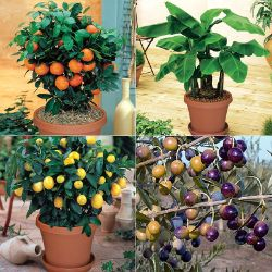 Indoor Fruit Tree Assortment