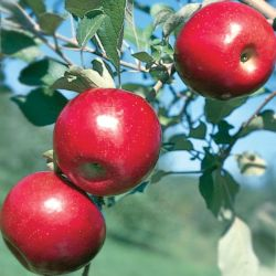 Photo of Jonafree Apple
