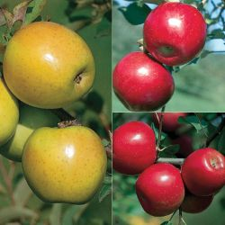 Disease-Resistant Apple Tree Collection