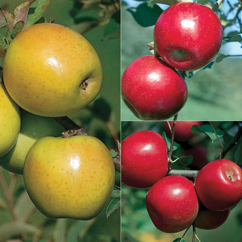 Disease resistant apple tree collection apple trees stark bro 39 s - Fruit trees every type weather area ...