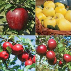Starkspur® Apple Tree Collection