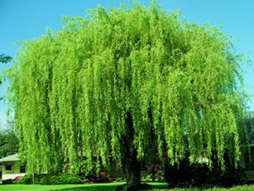 Wisconsin Weeping Willow
