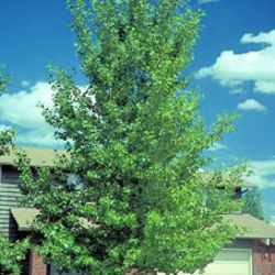 Photo of Hybrid Poplar (Shade Form)