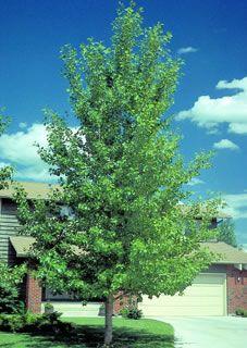 Hybrid Poplar Tree Hybrid Poplar (...