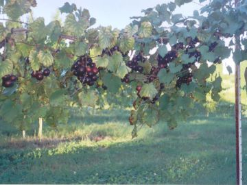 Nesbitt Muscadine Grape