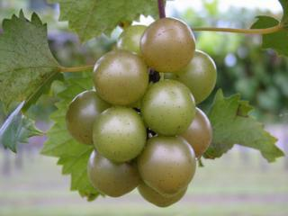 Triumph Muscadine Grape