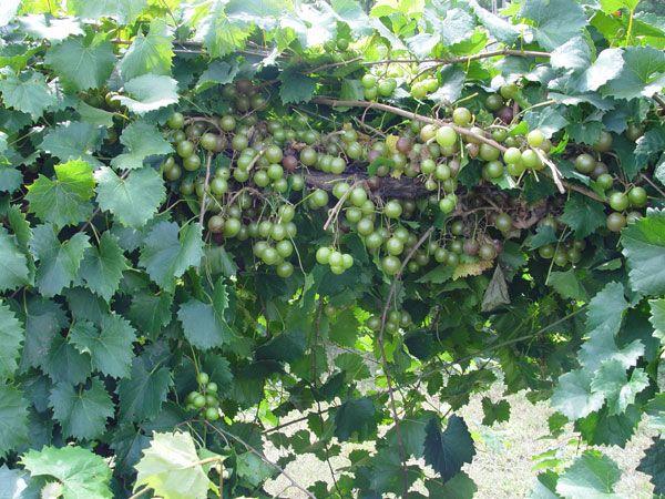 Triumph Muscadine Grape