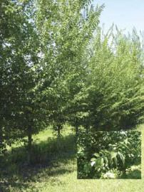 Green King Hybrid Elm