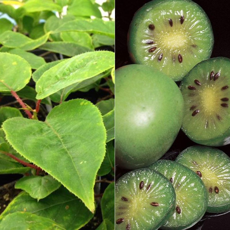 hardy kiwi vine collection  kiwi berry vines  stark bro's, Natural flower