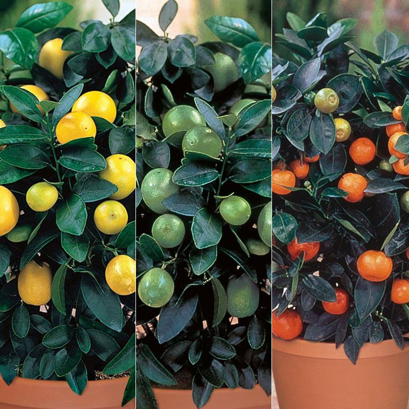 Citrus Trees From Stark Bro S For
