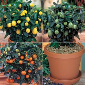 Citrus Tree Collection Kit