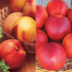 Easy-Care Nectarine Tree Collection