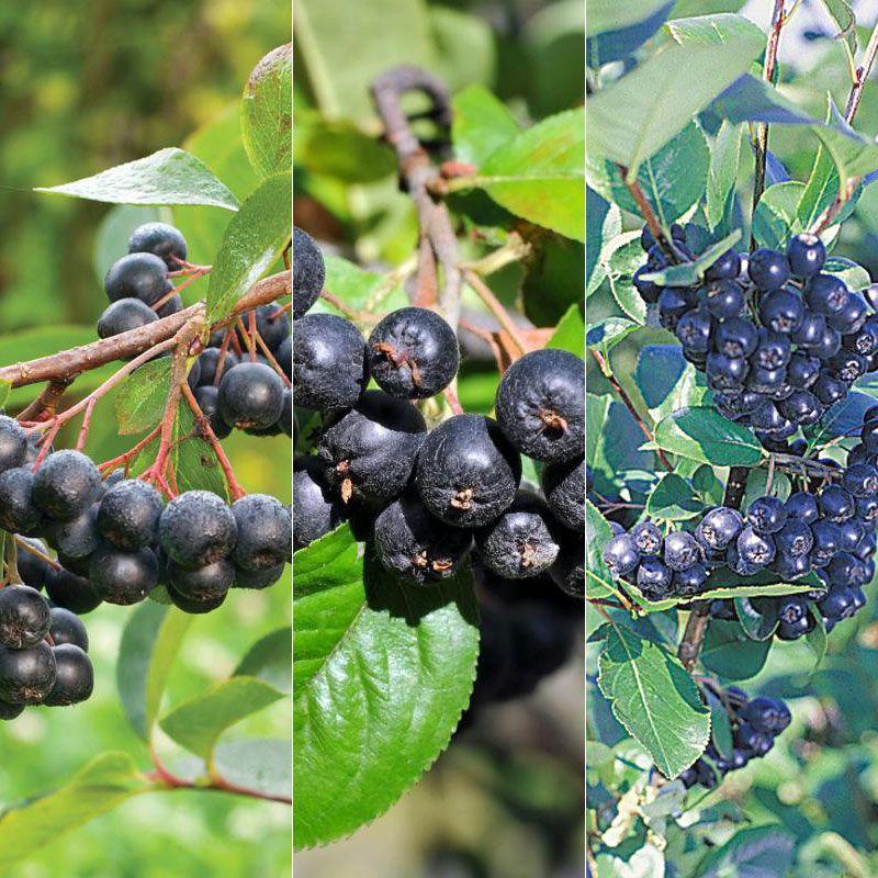 how to grow maqui berry tree