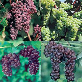 Our Most Wanted Grape Vine Collection